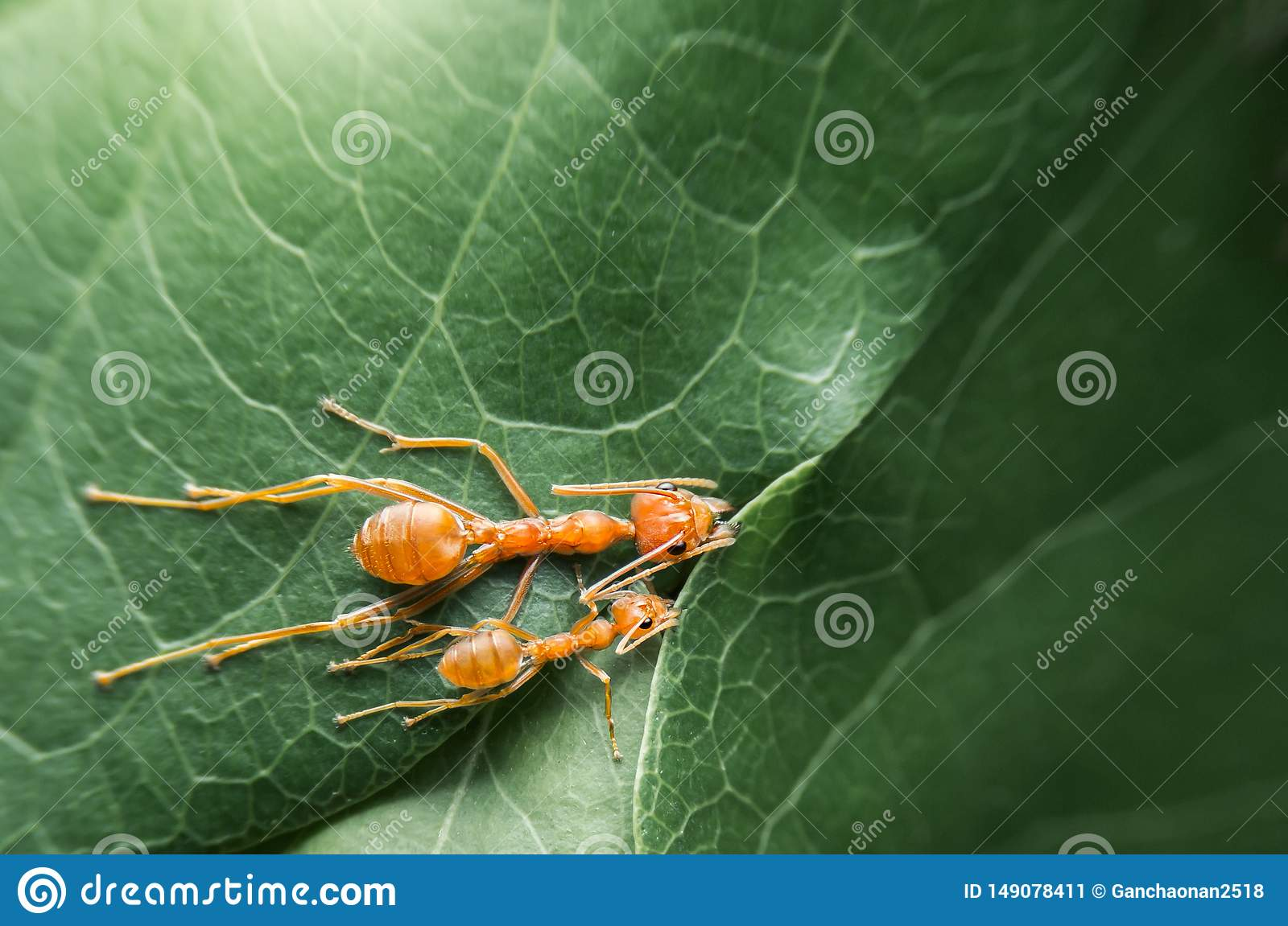 Top view selective focus team works red ants create their nest by green tree leaf with nature background