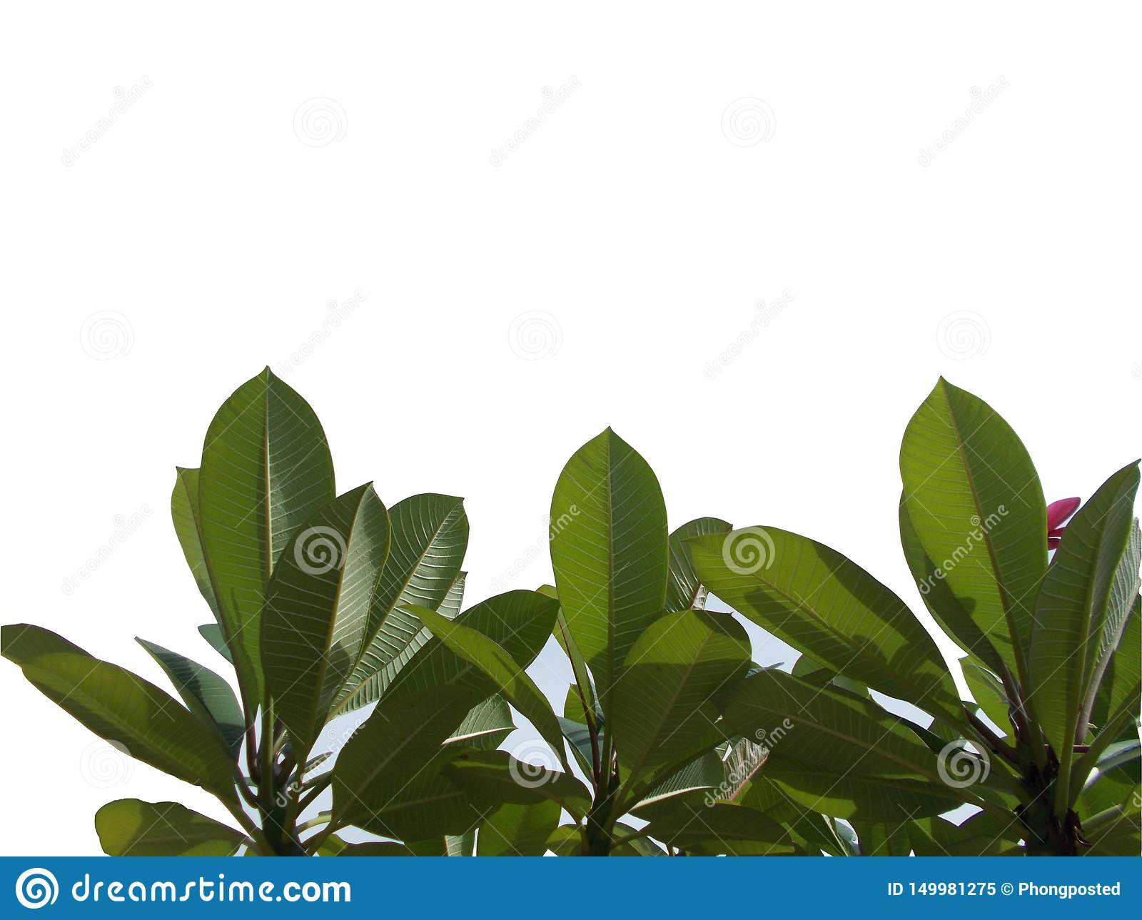 Top view tree tropical leaf with branches isolated on white backgrounds,green foliage for backdrop
