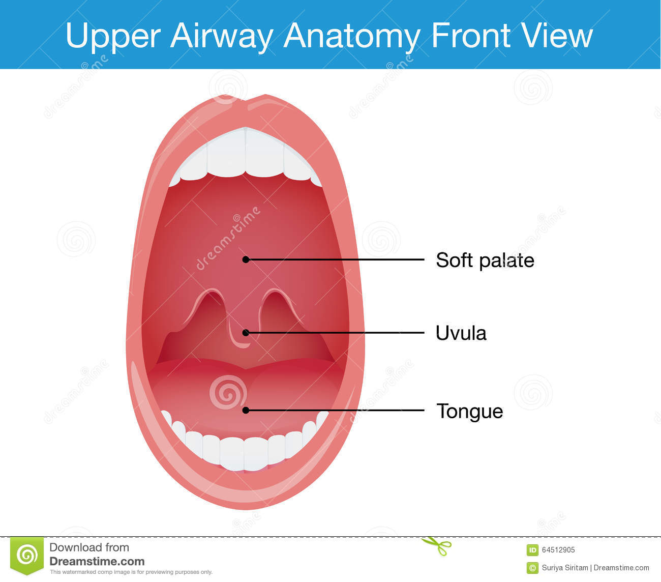 Top View Of Upper Airway Human Anatomy Stock Vector - Illustration ...