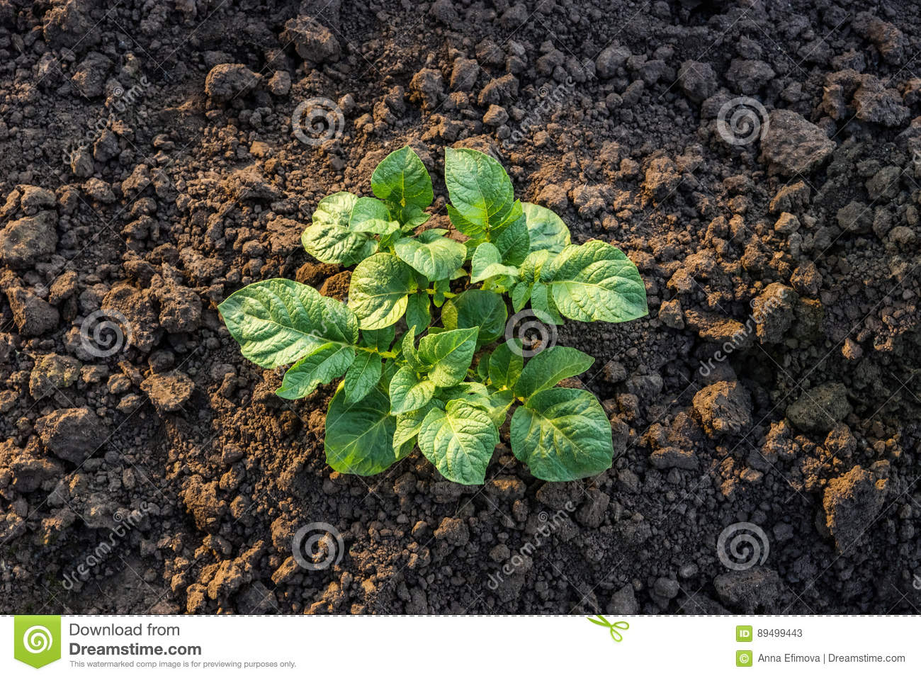 Top View Of A Young Potato Plant Growing In The Vegetable Garden