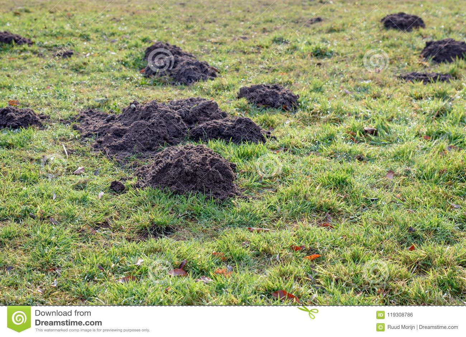 Toperas frescas en hierba cubierta de rocio del cierre