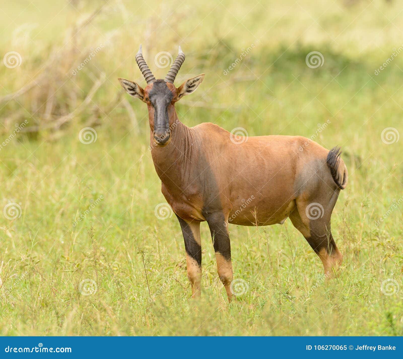 Africanos fotos de antilopes Antílopes africanos