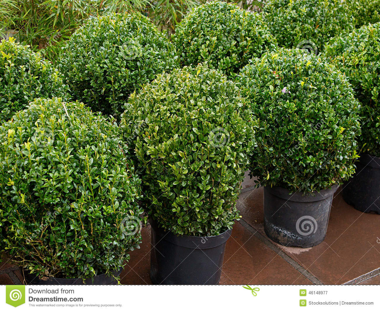 Topiary bushes stock image image of evergreen for Landscape gardeners