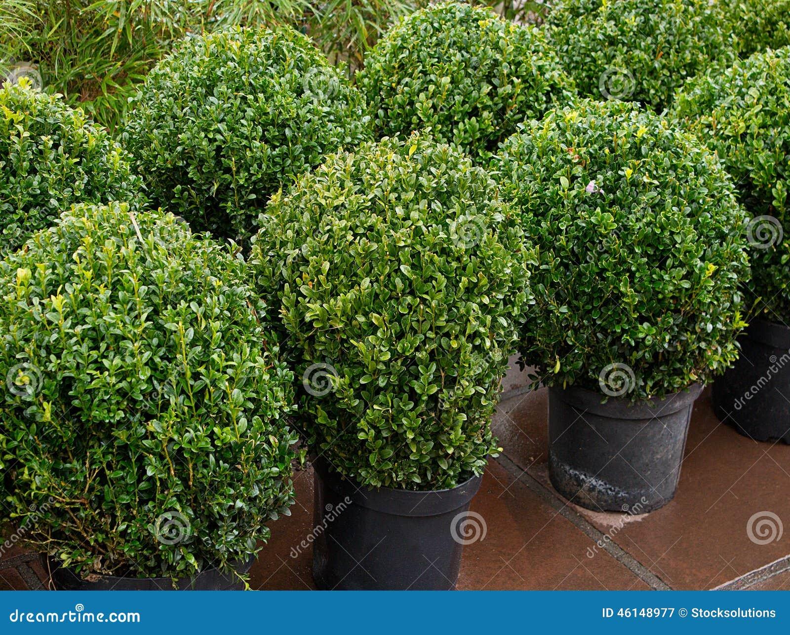 Topiary struiken