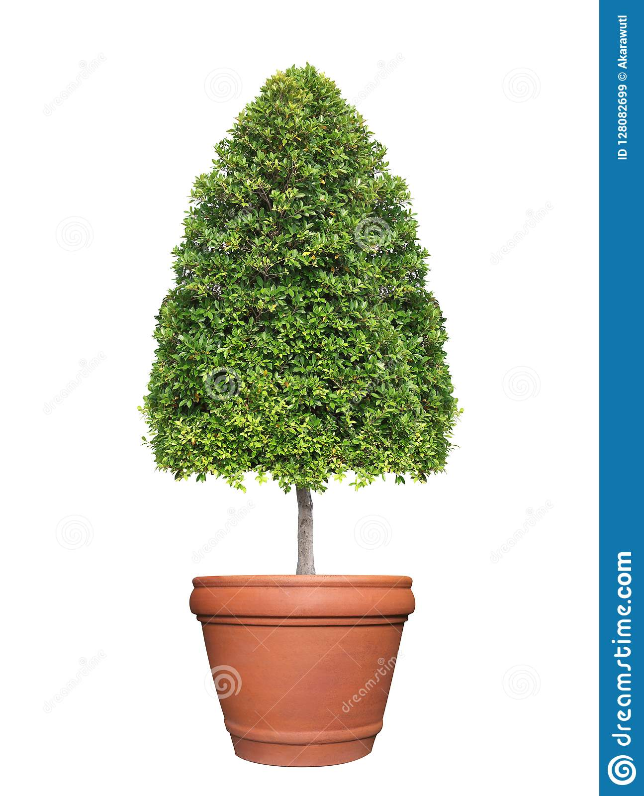 Symmetric Cone Shape Trim Topiary Tree On Clay Pot Isolated On White Background For Outdoor And Garden Design Stock Image Image Of Large Background 128082699