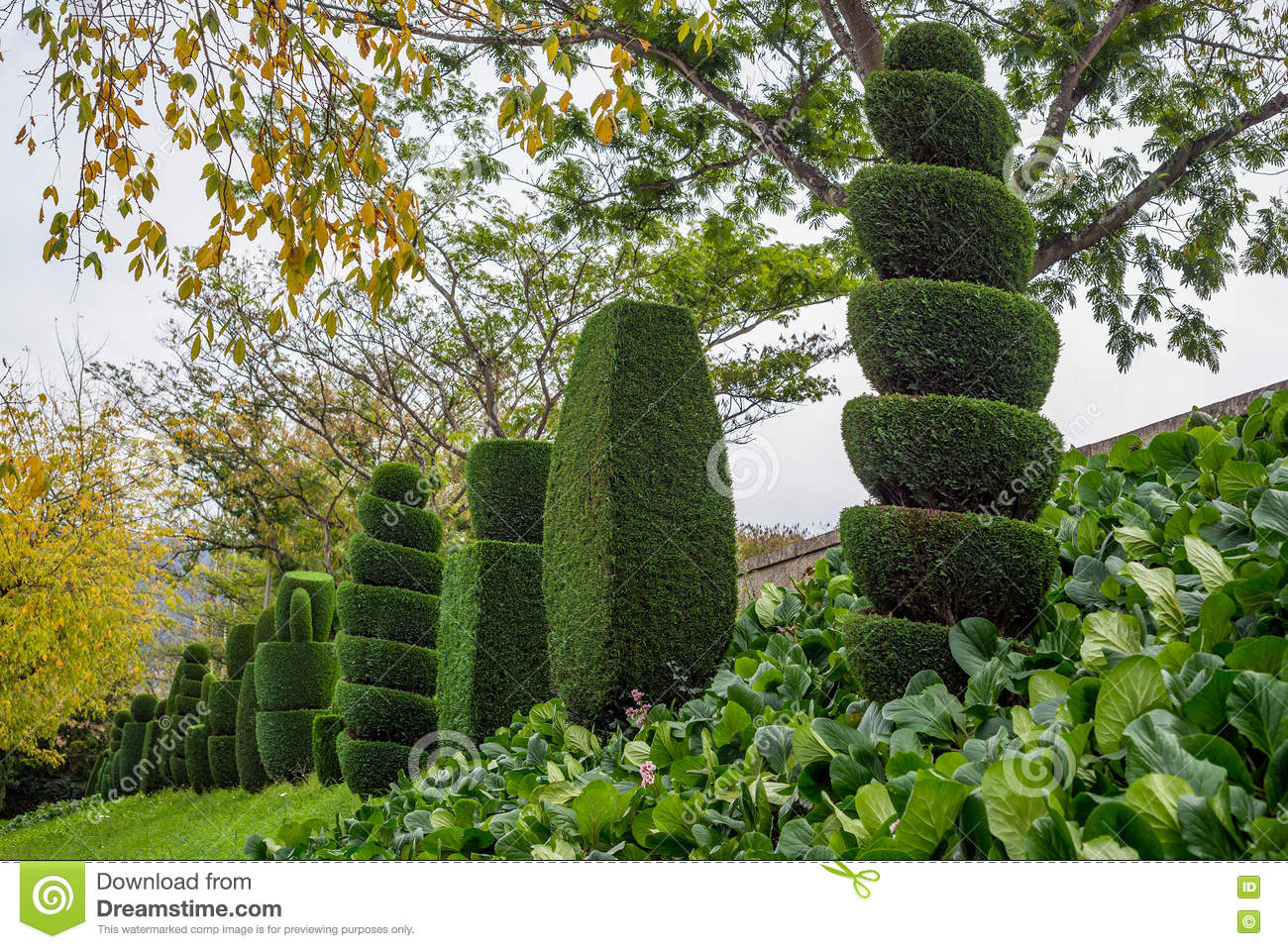 Topiary Tree Horticulture Spiral Cut Thuja Spruce Pine Many Garden Stock Image Image Of Spiral Decoration 81346497