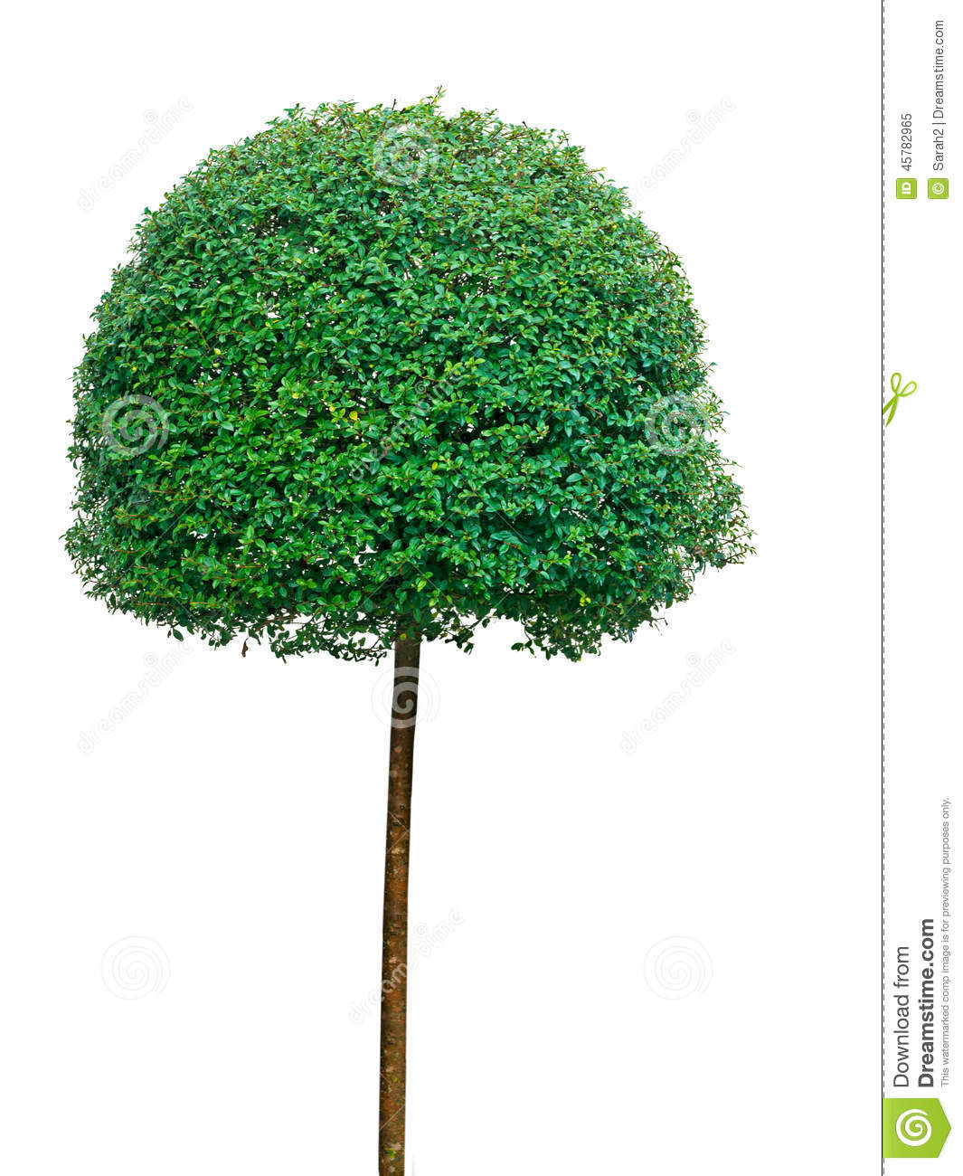 Topiary Tree Over White Background Stock Image Image Of Background Evergreen 45782965
