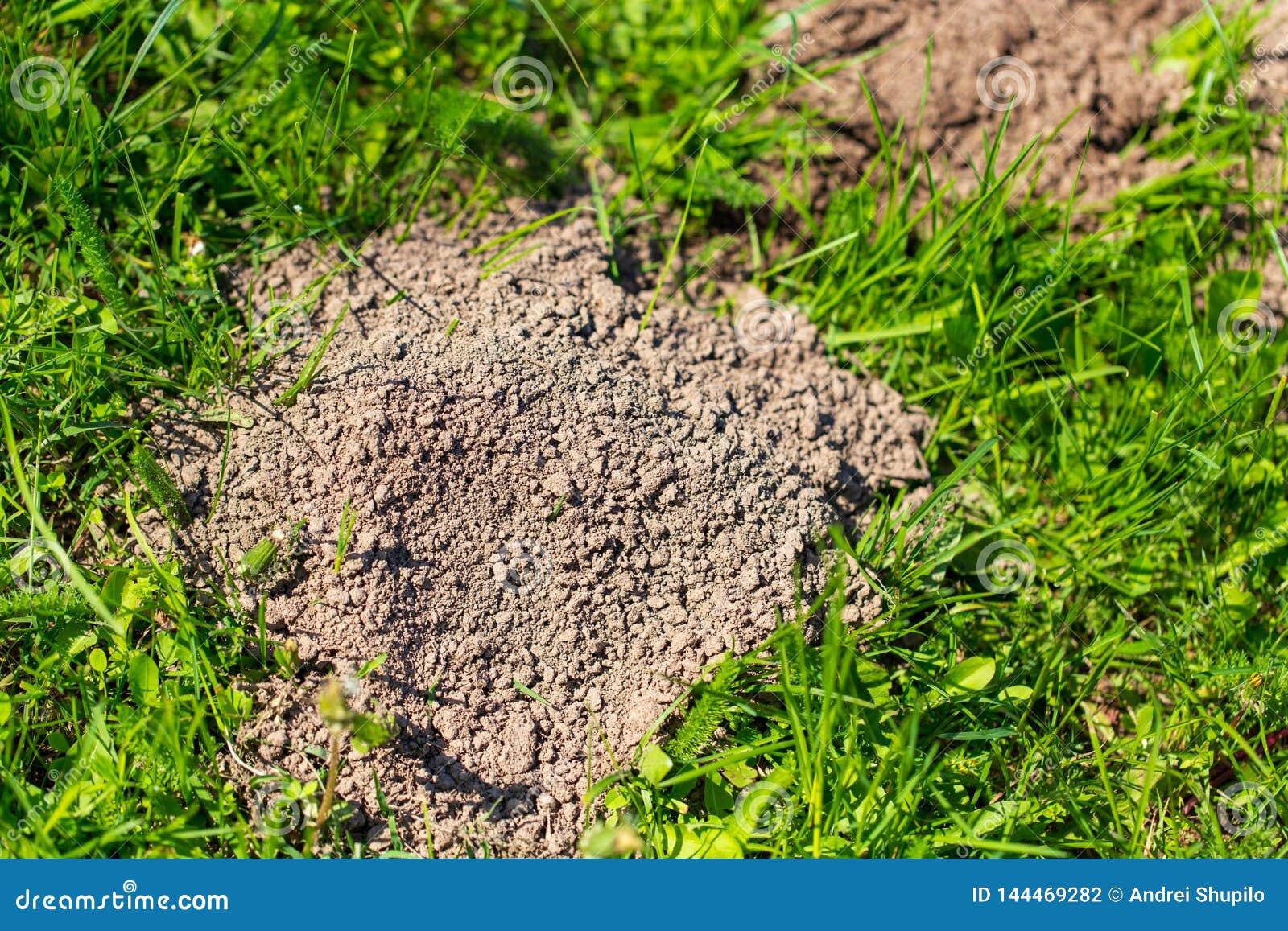 Topo cavado en la tierra en primavera