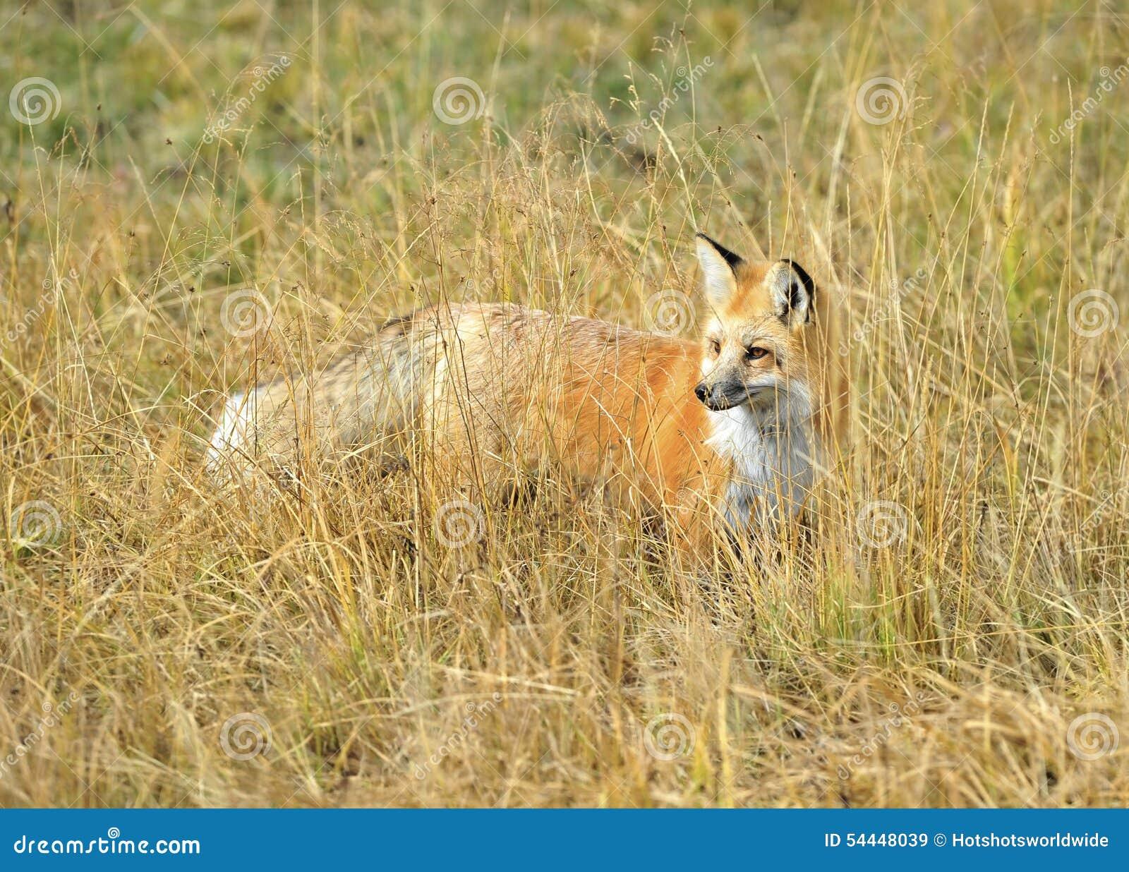 Toppig bergskedja nevada röd räv i gräs, yellowstone nationalpark, monta