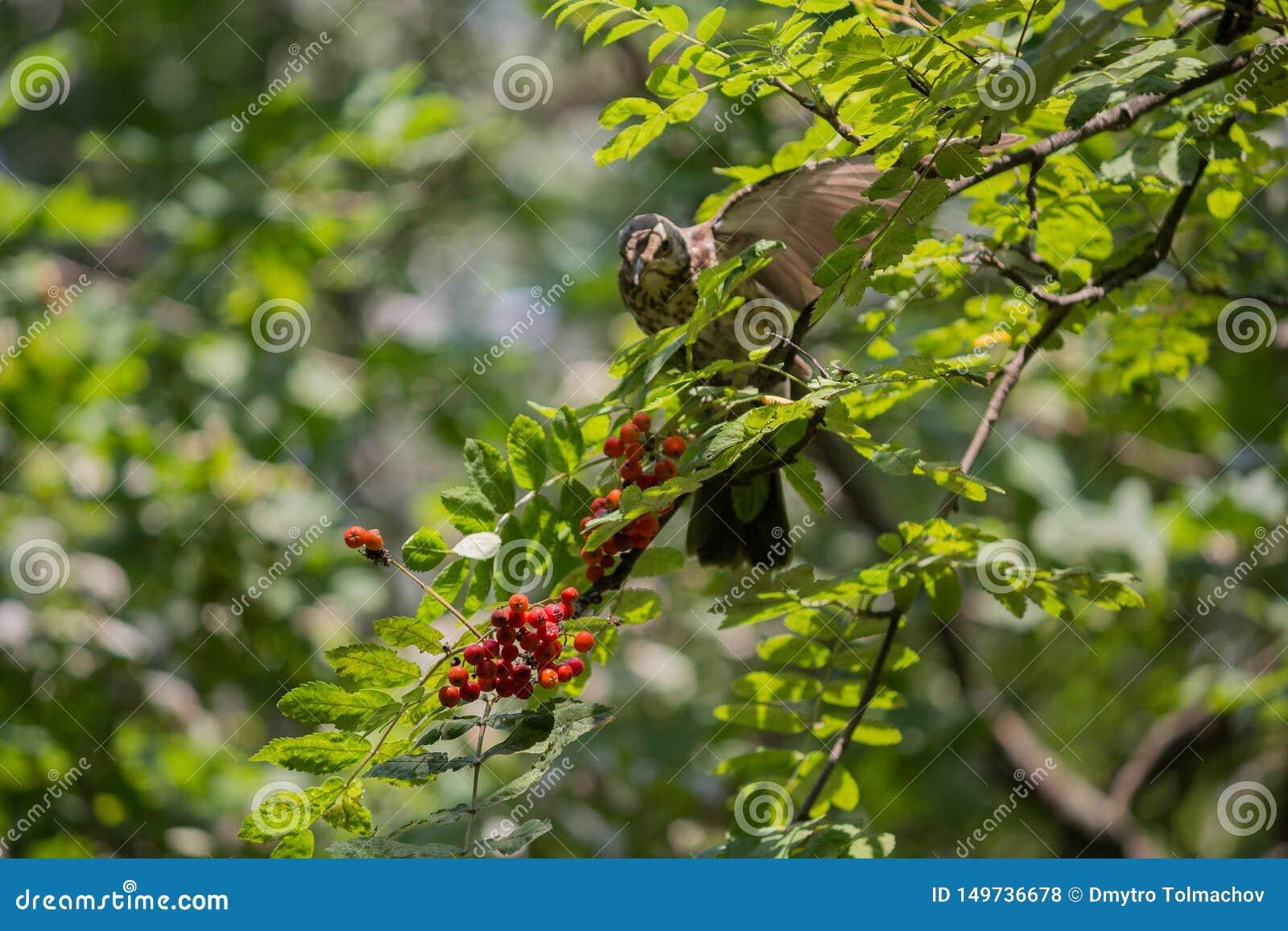 Tordo sassello che si alimenta il berrie dell albero di sorba