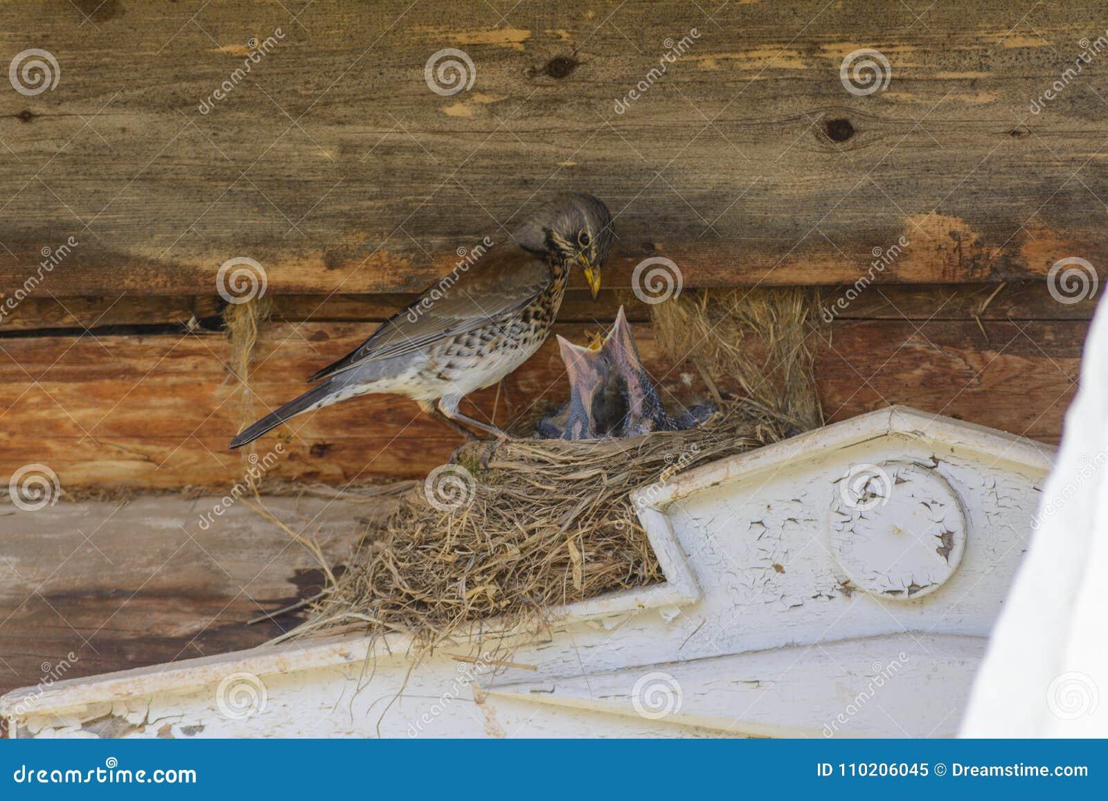 Tordo sui pulcini d alimentazione del nido