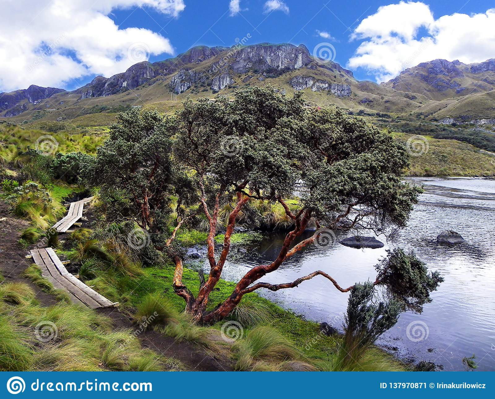 Toreadora lake lagoon and Paper tree or Polylepis at National Park El Cajas, Andean Highlands, Ecuador