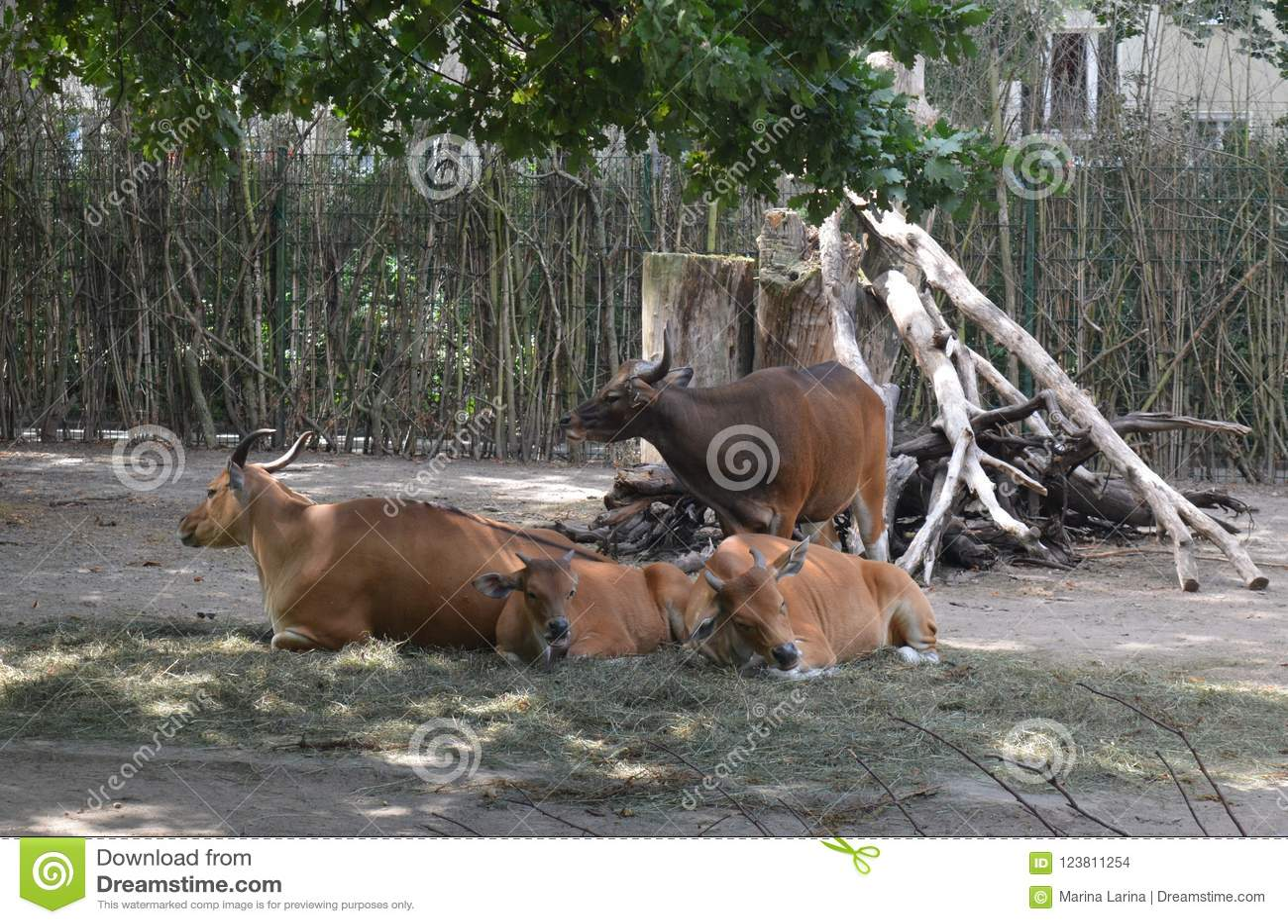 Tori e mucche nello zoo di Dresda Germania