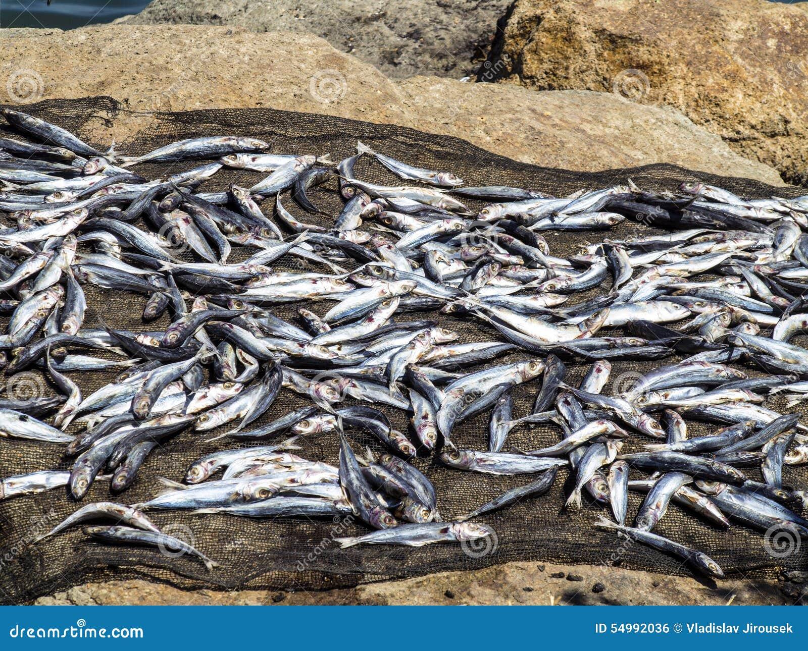 Torka fisken i solen, Labuan Bayo, Indonesien