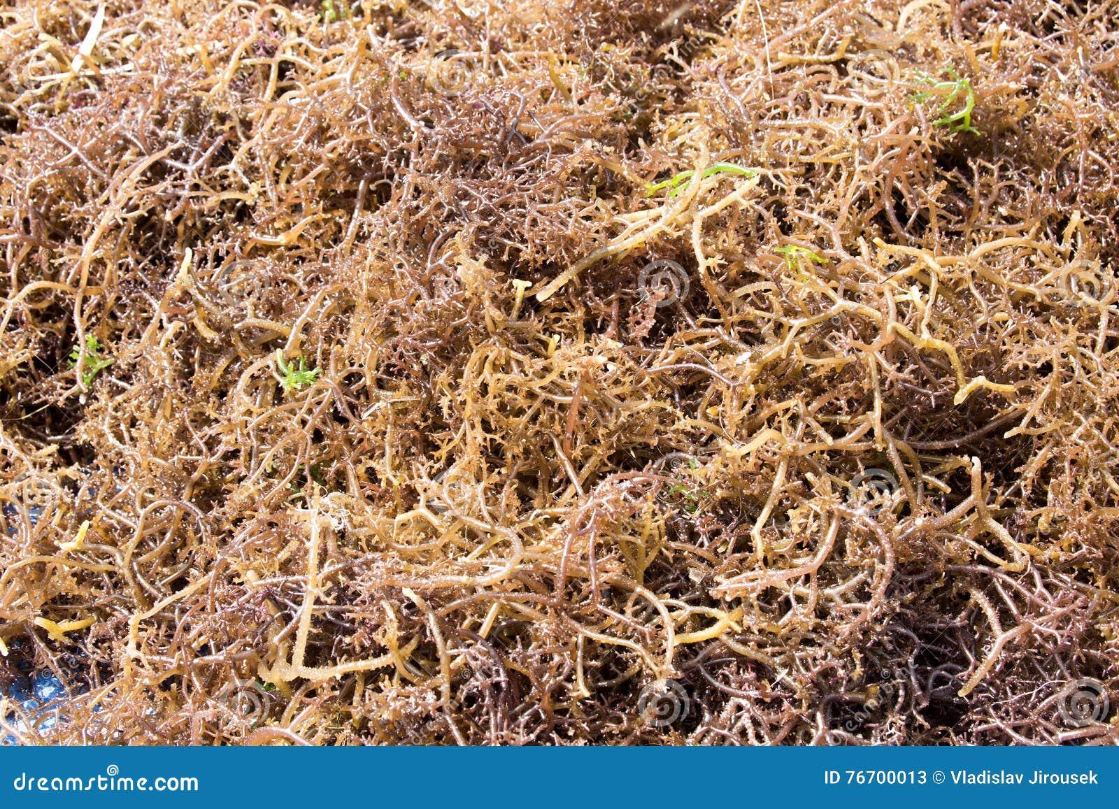 Torkad havsväxt, Nusa Penida, Bali, Indonesien