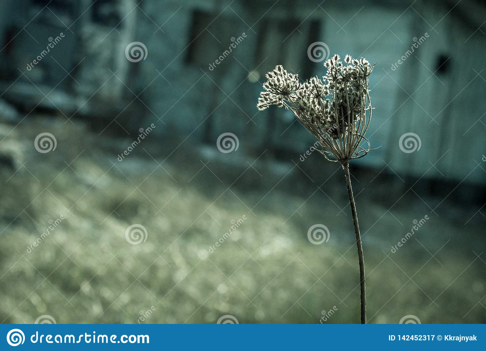 Torkat blommahuvud av en lös morot