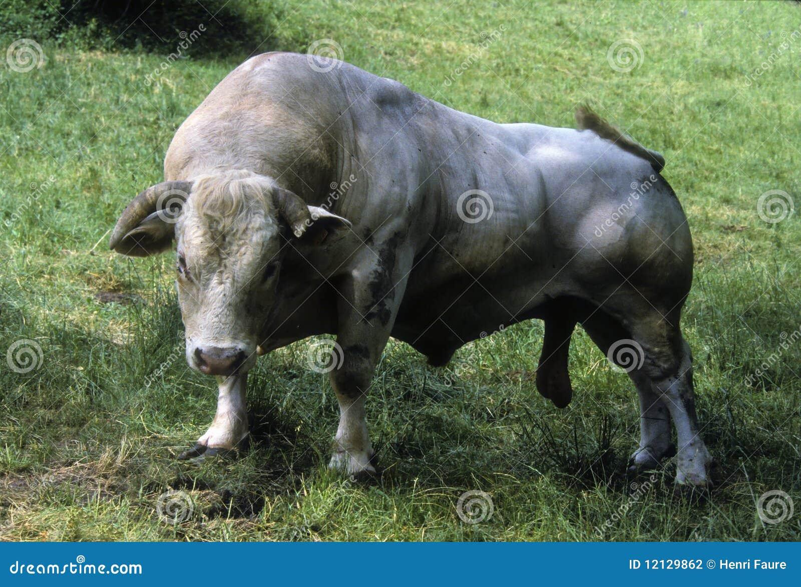 Toro de Charolais