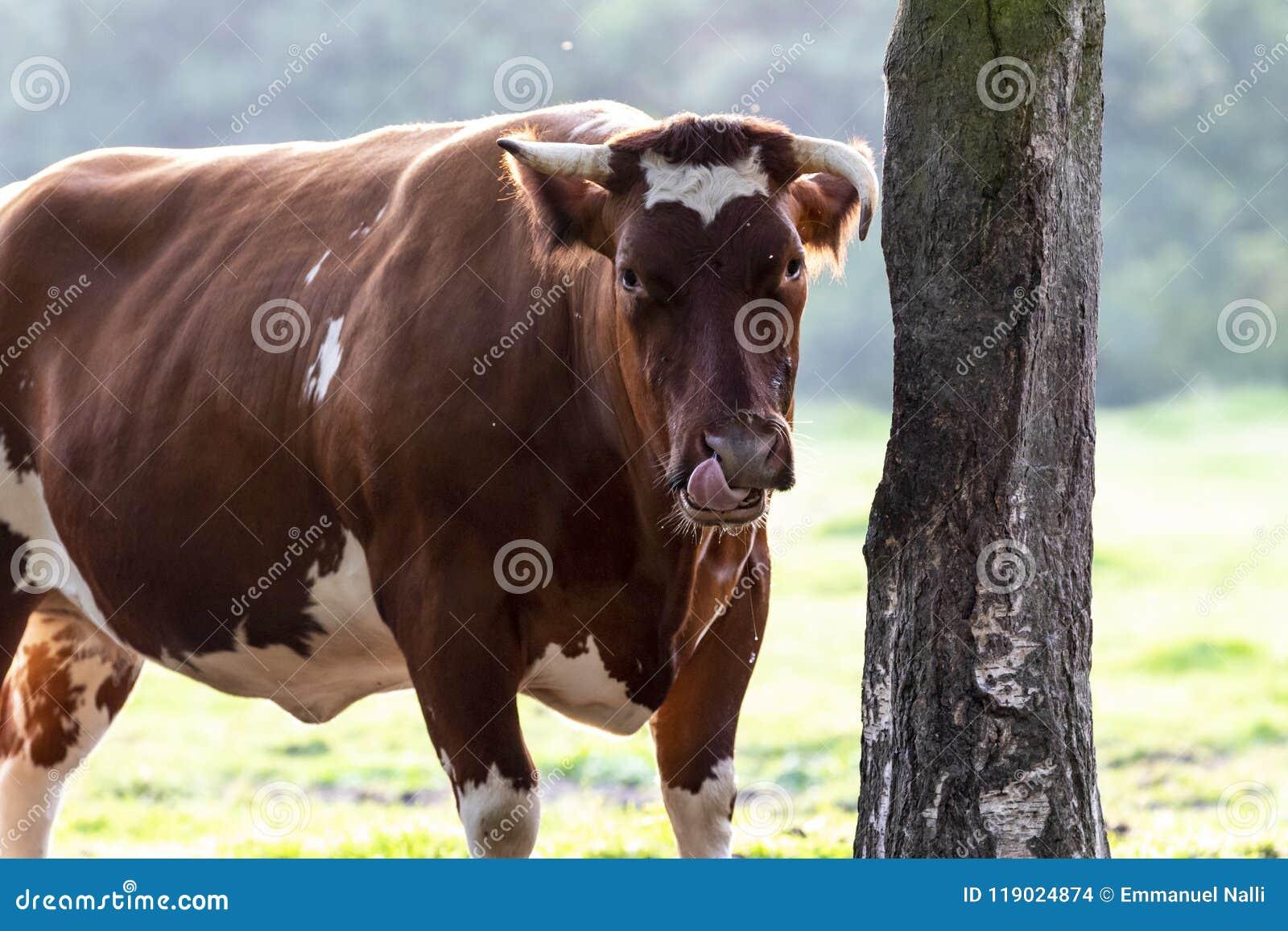 Toro de ganadería belga