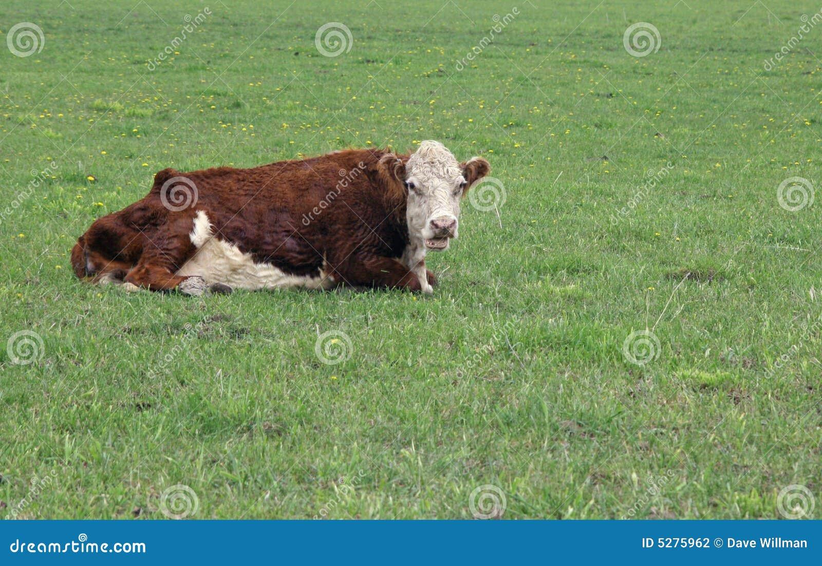 Toro de Hereford