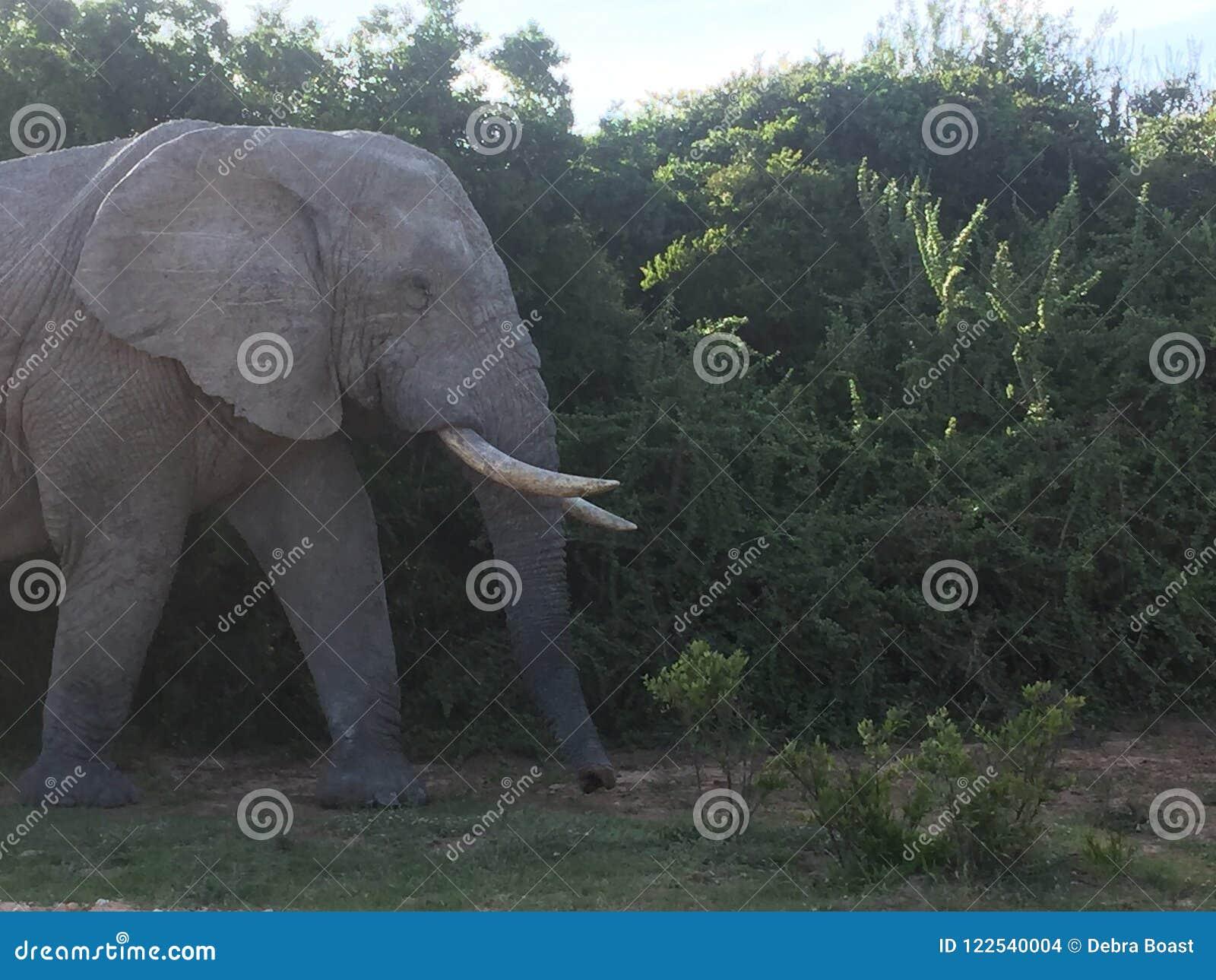 Toro dell elefante in Africa