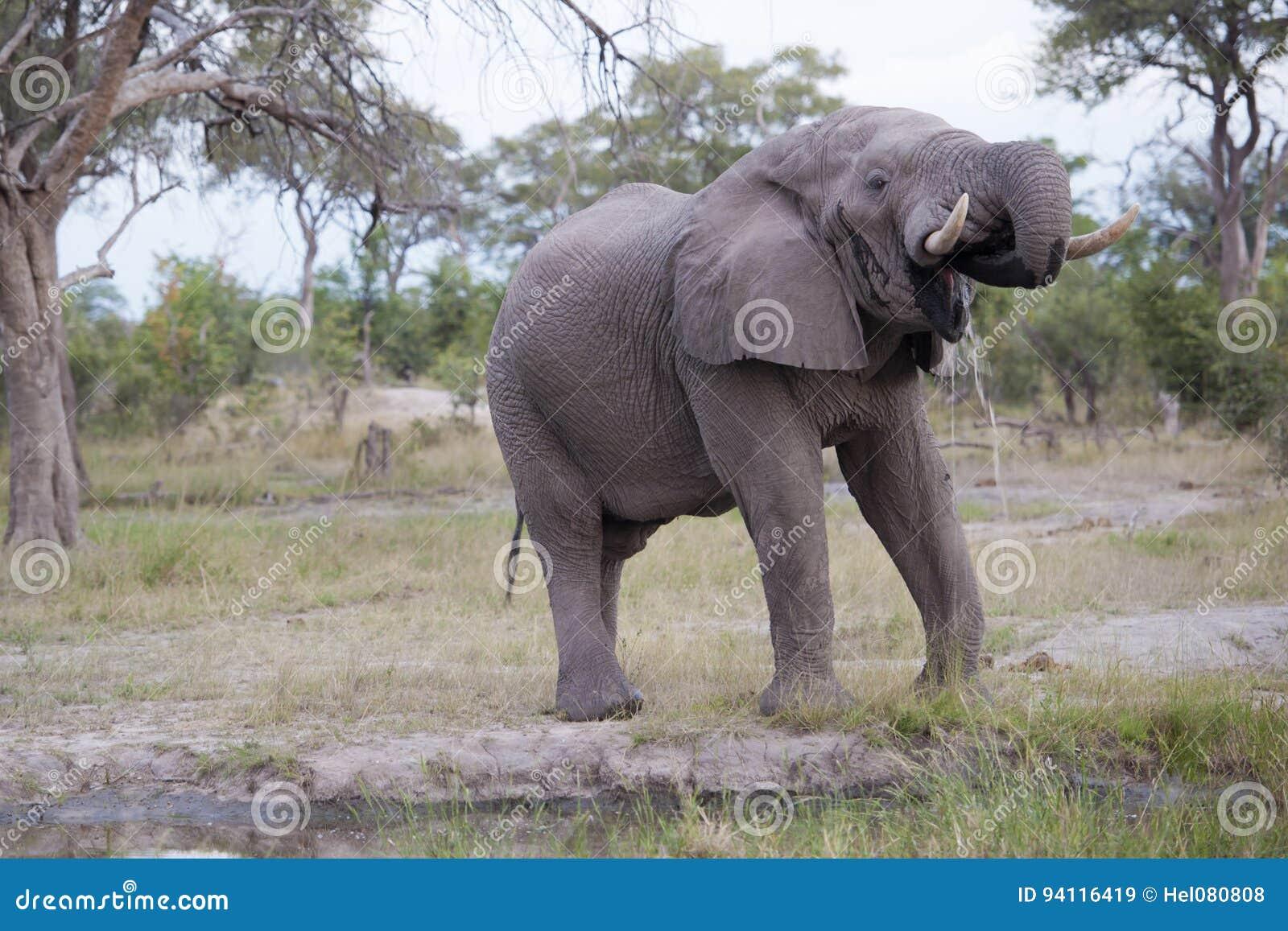 Toro enorme del elefante