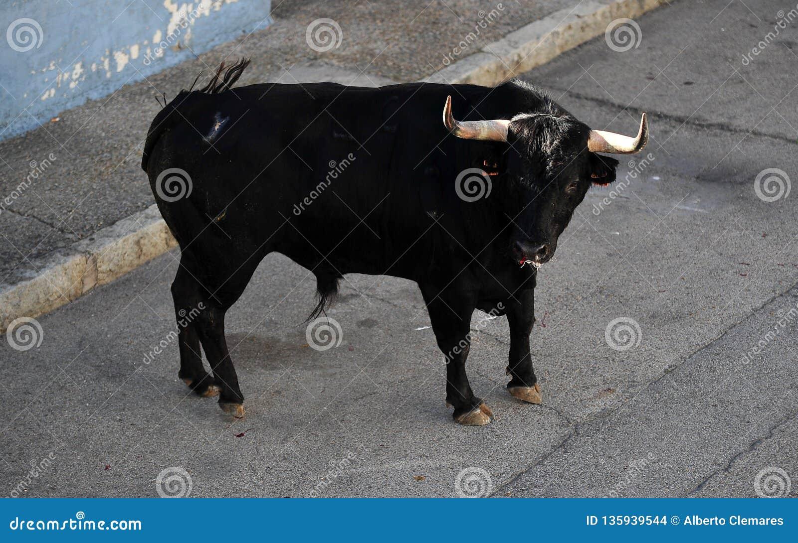 Toro spagnolo in arena sulla spagna