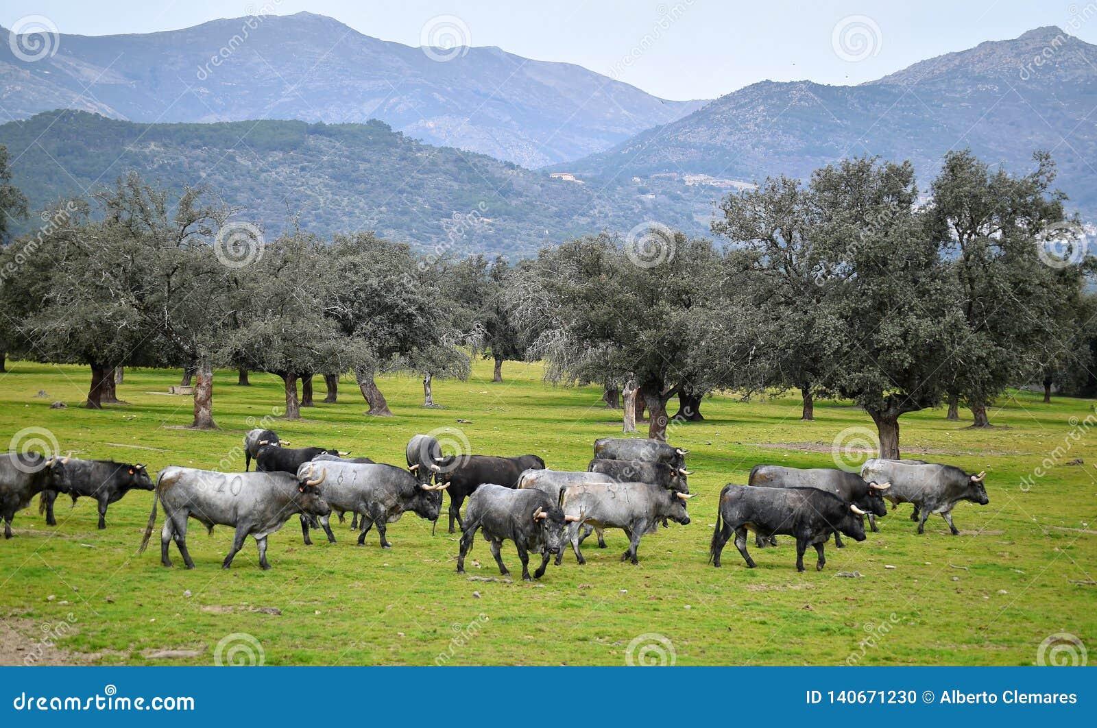 Toro valiente en el campo con los cuernos grandes