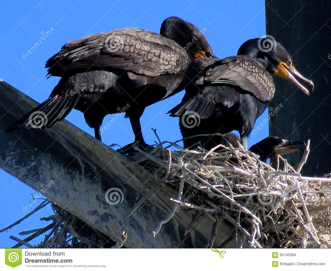 Toronto Cormorant family on the transmission line tower 2017