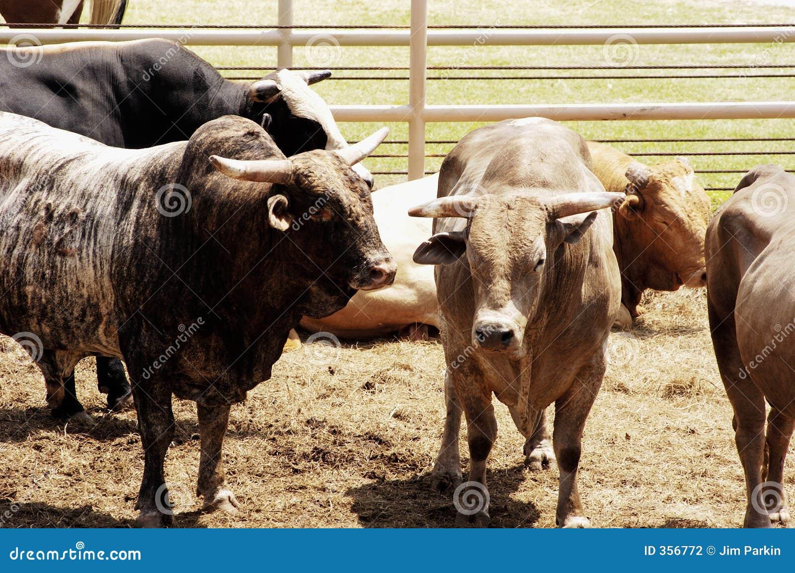 Toros que esperan su vuelta en la arena del rodeo.