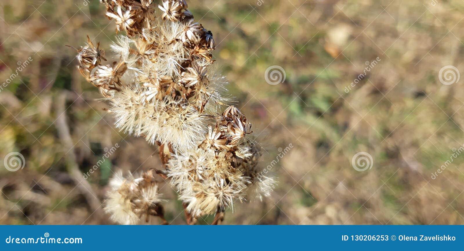 Torr thistle Torrt gräs i fältet