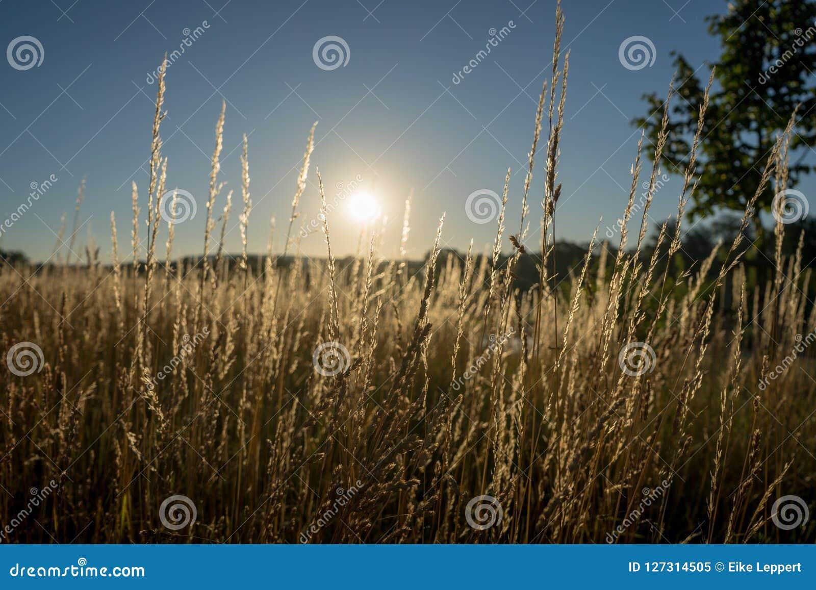 Torra gras i solnedgången mot solen