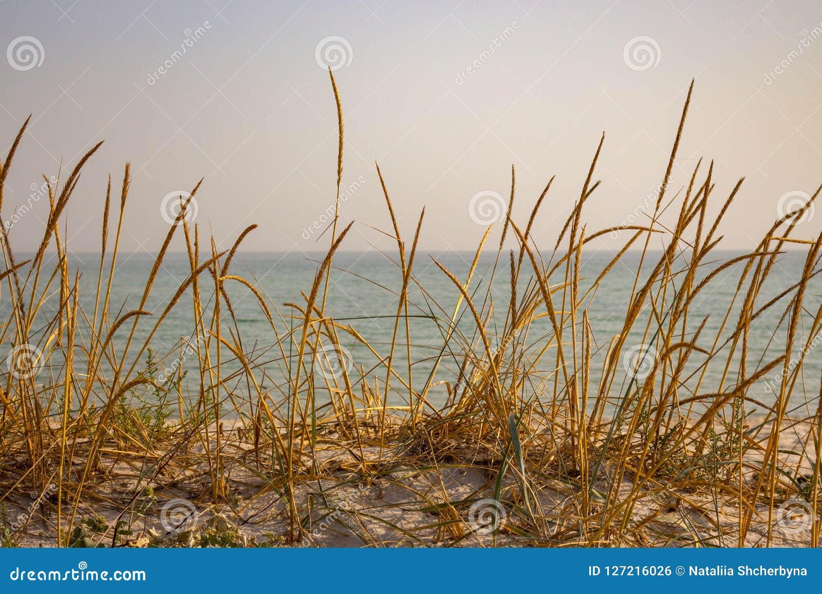 Torrt gult gräs i dyn mot det lugna havet Sjösidabakgrund Högväxt vass på sandstranden Seascape på solnedgång