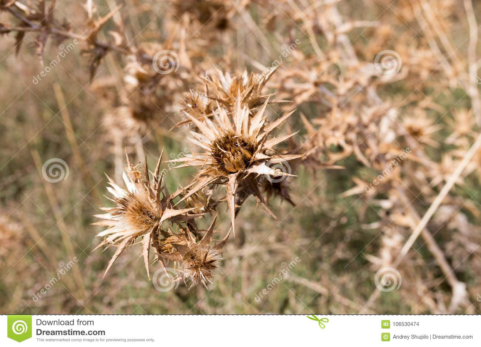 Torrt taggigt gräs utomhus