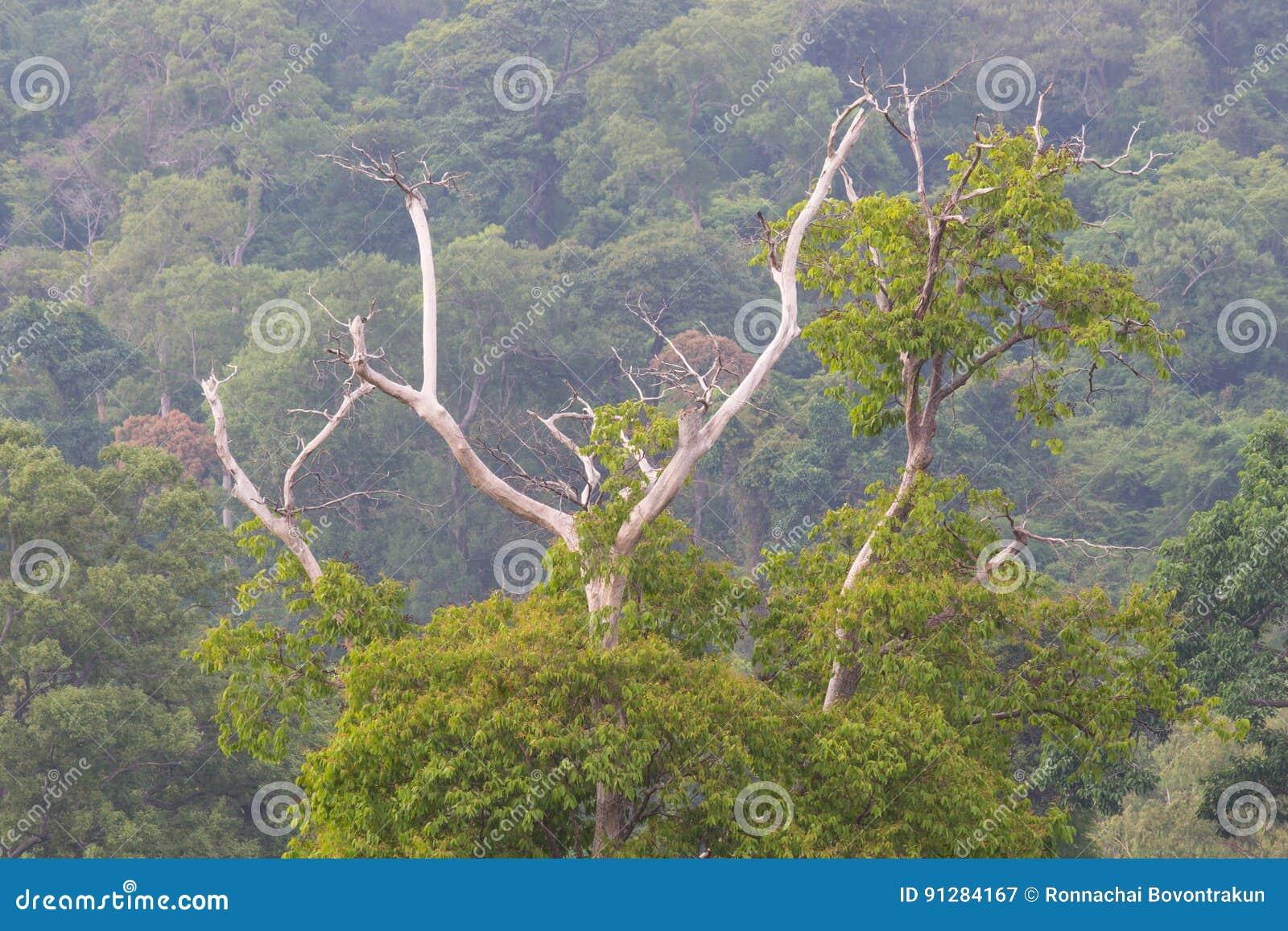 Torrt träd mot berget med vintergröna trän