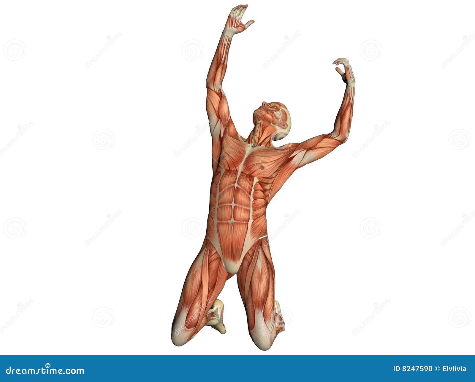 Torso Masculino Que Muestra Los Músculos Stock de ilustración ...