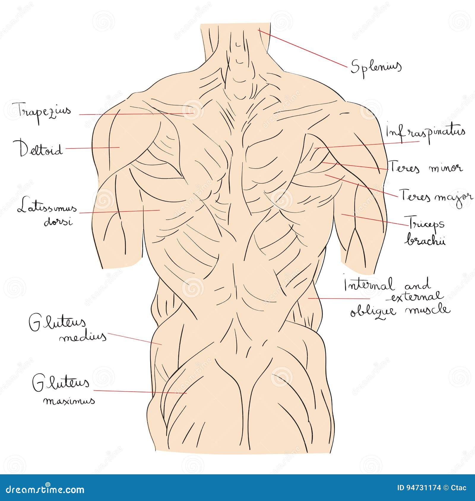 Torso mischt zurück mit stock abbildung. Illustration von anatomie ...