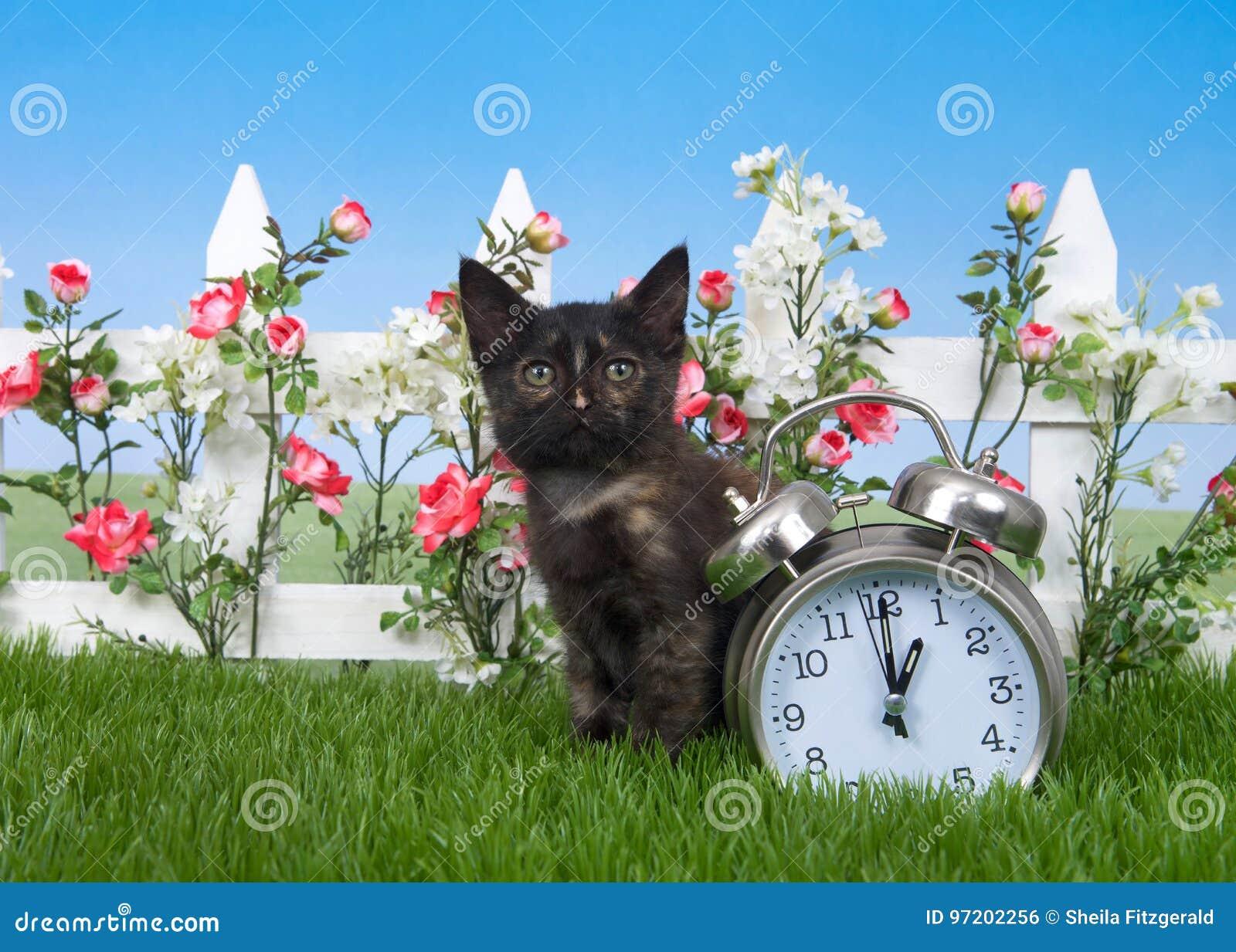 Tortie tabby kitten daylight savings concept in garden
