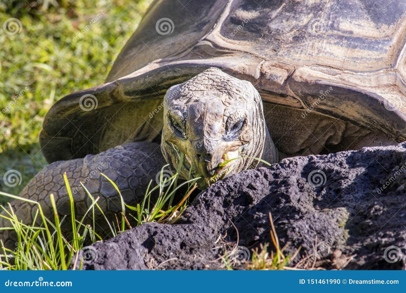 Tortoise łasowania trawa przy zoo