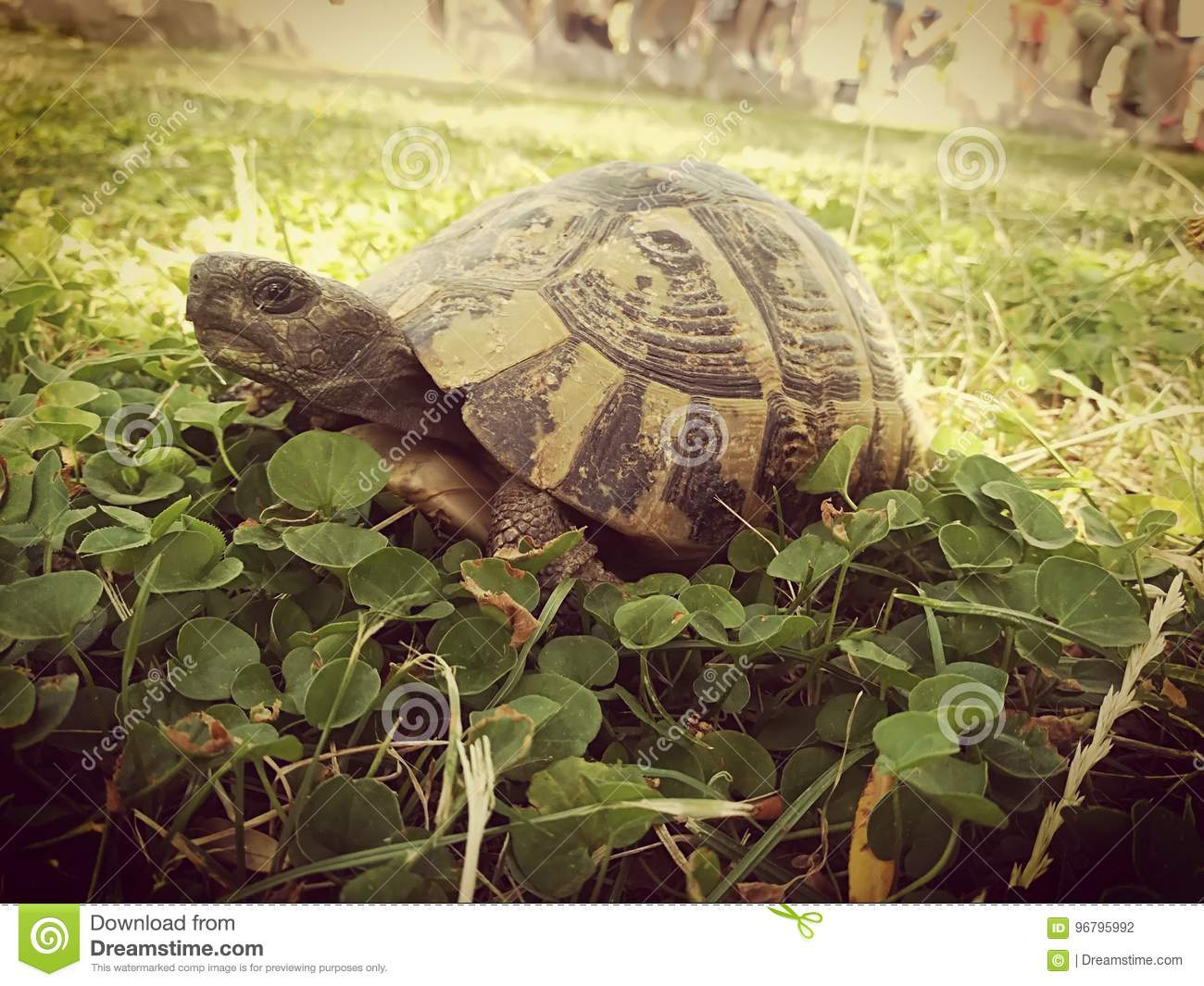 Tortoise in the clover