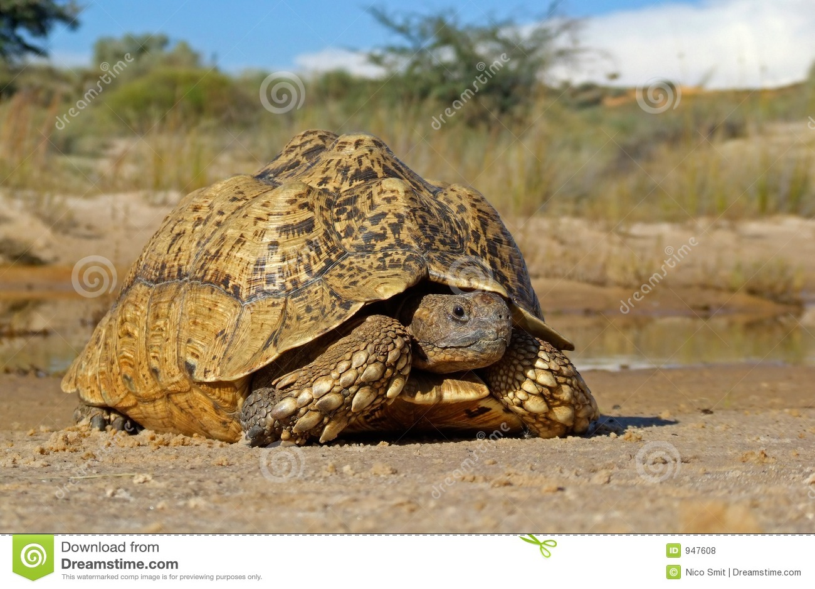Tortoise della montagna