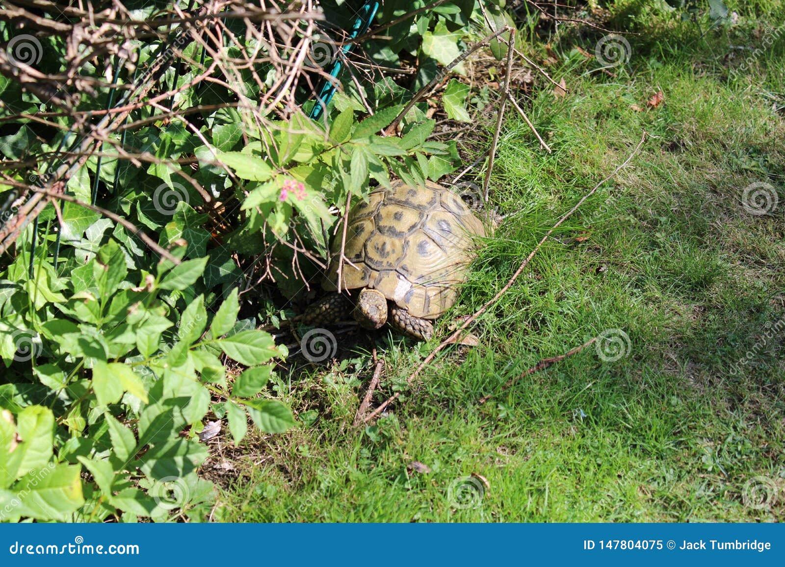 Tortoise eating lettuce leaves