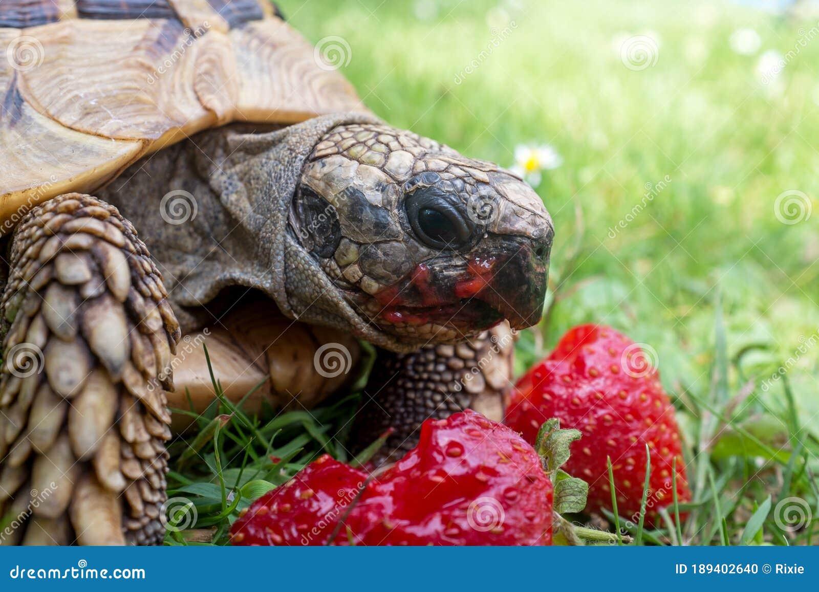 D Tortoise Eating Strawberries Art Print Home Decor Wall Art Poster