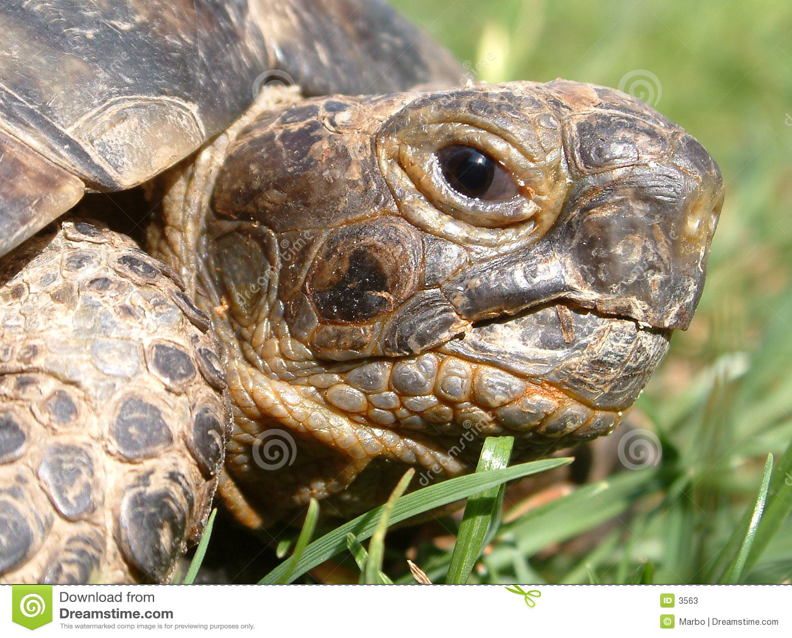 Tortoise head