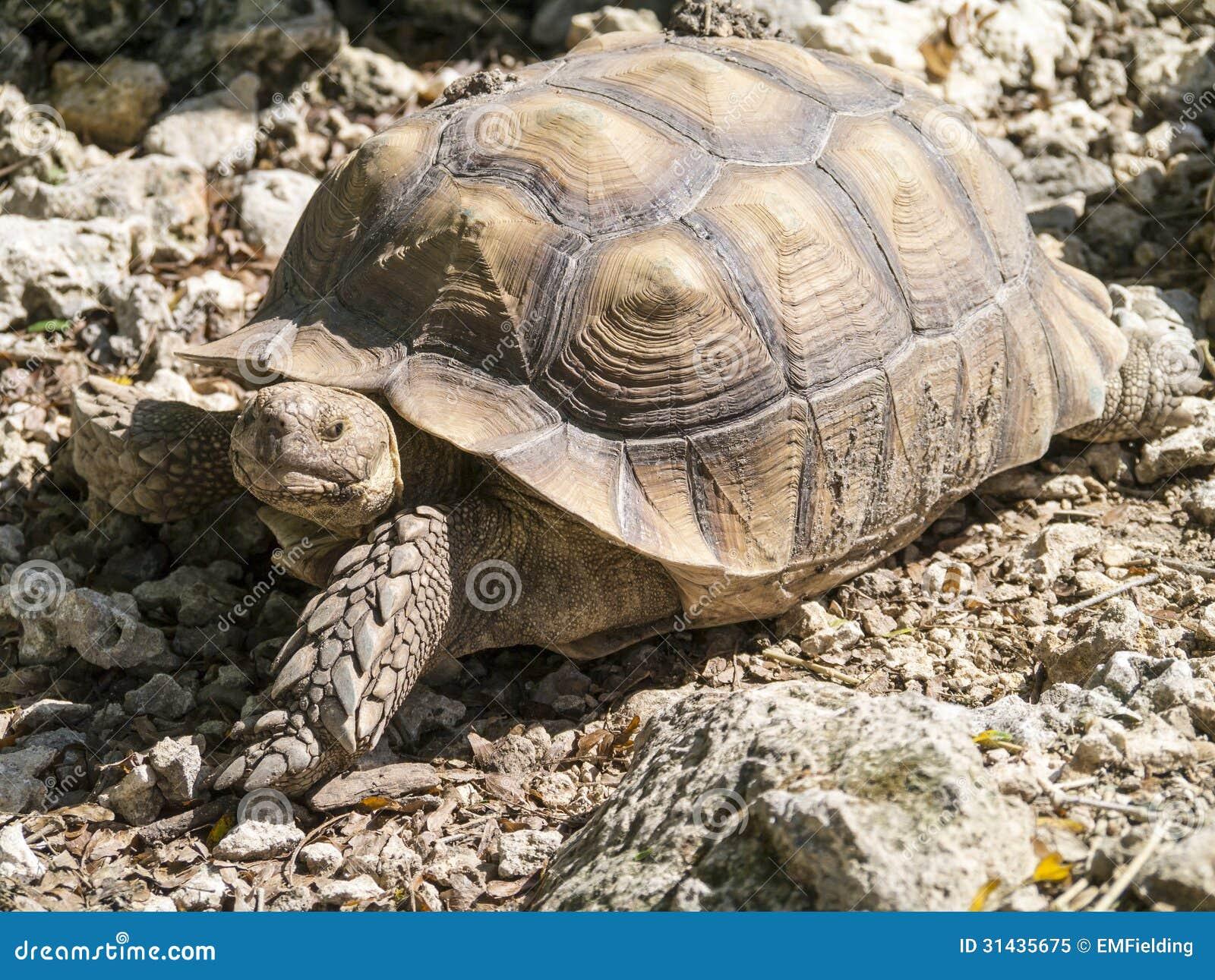Tortoise Royalty Free Stock Photo - Image: 31435675