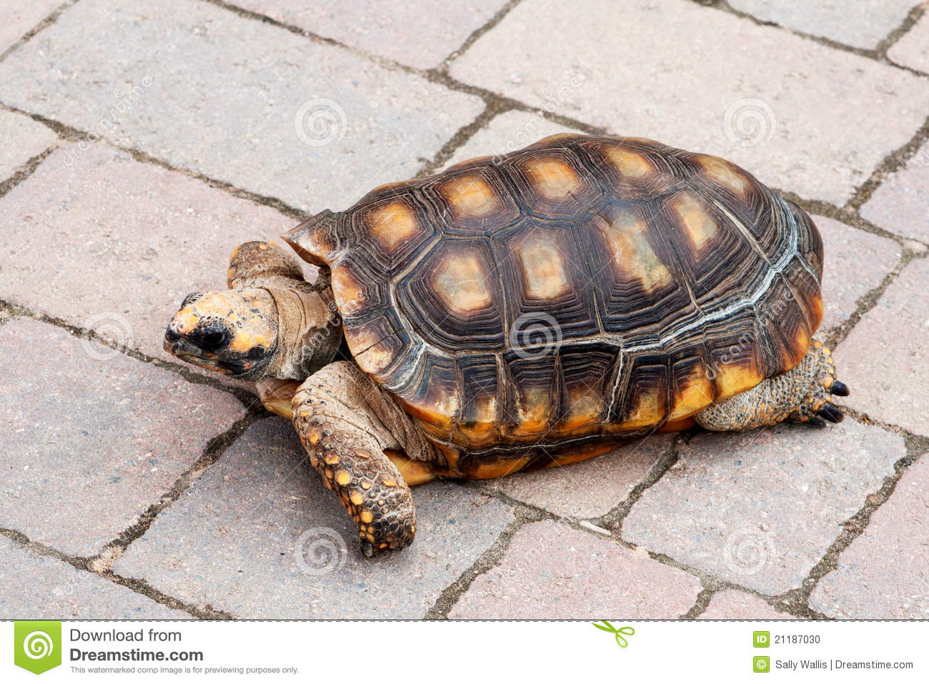 Tortoise meandering across pavement