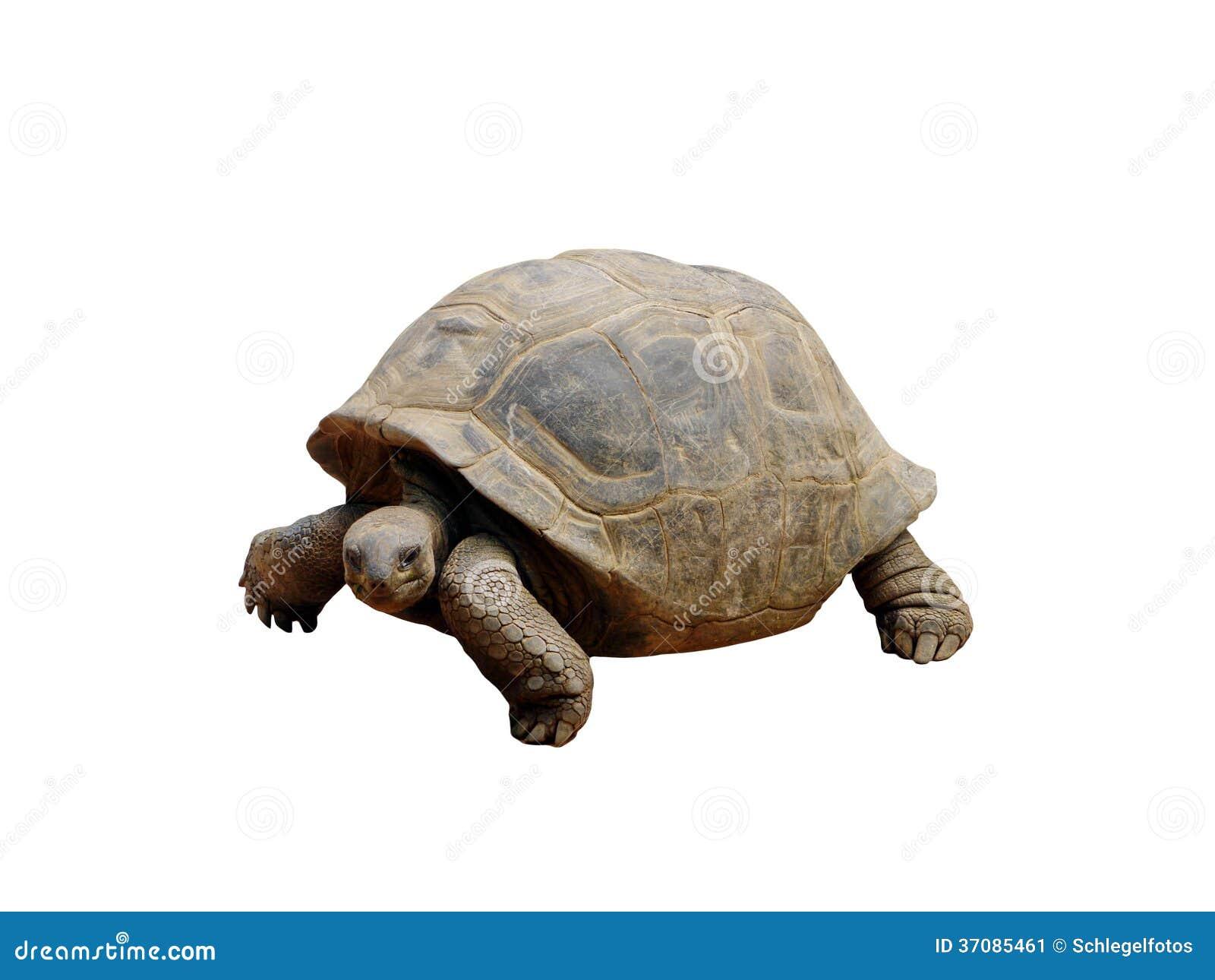 Download Tortoise odizolowywający obraz stock. Obraz złożonej z ampuła - 37085461