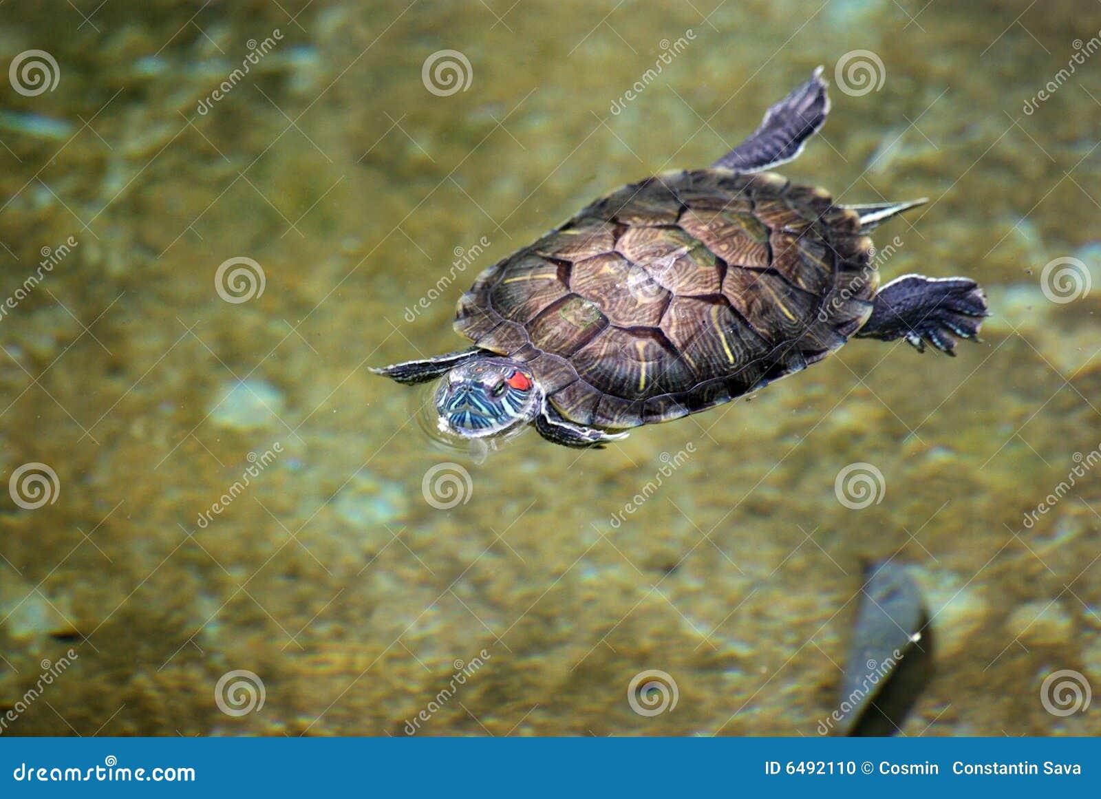 Tortoise Swimming In Water Stock Photo - Image: 6492110