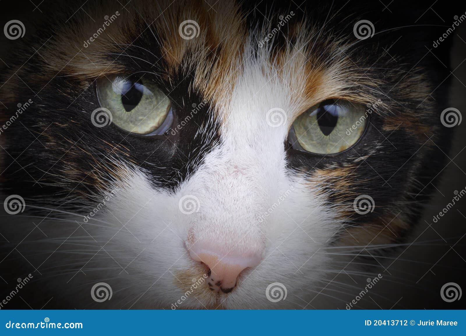 Tortoiseshell Cat.