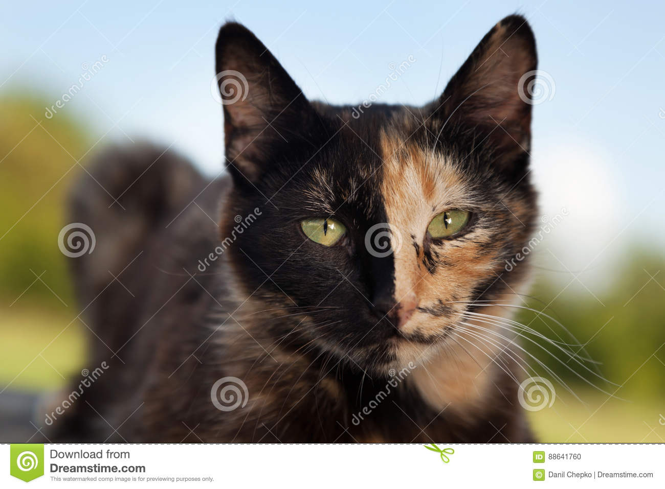 Tortoiseshell cat outdoors