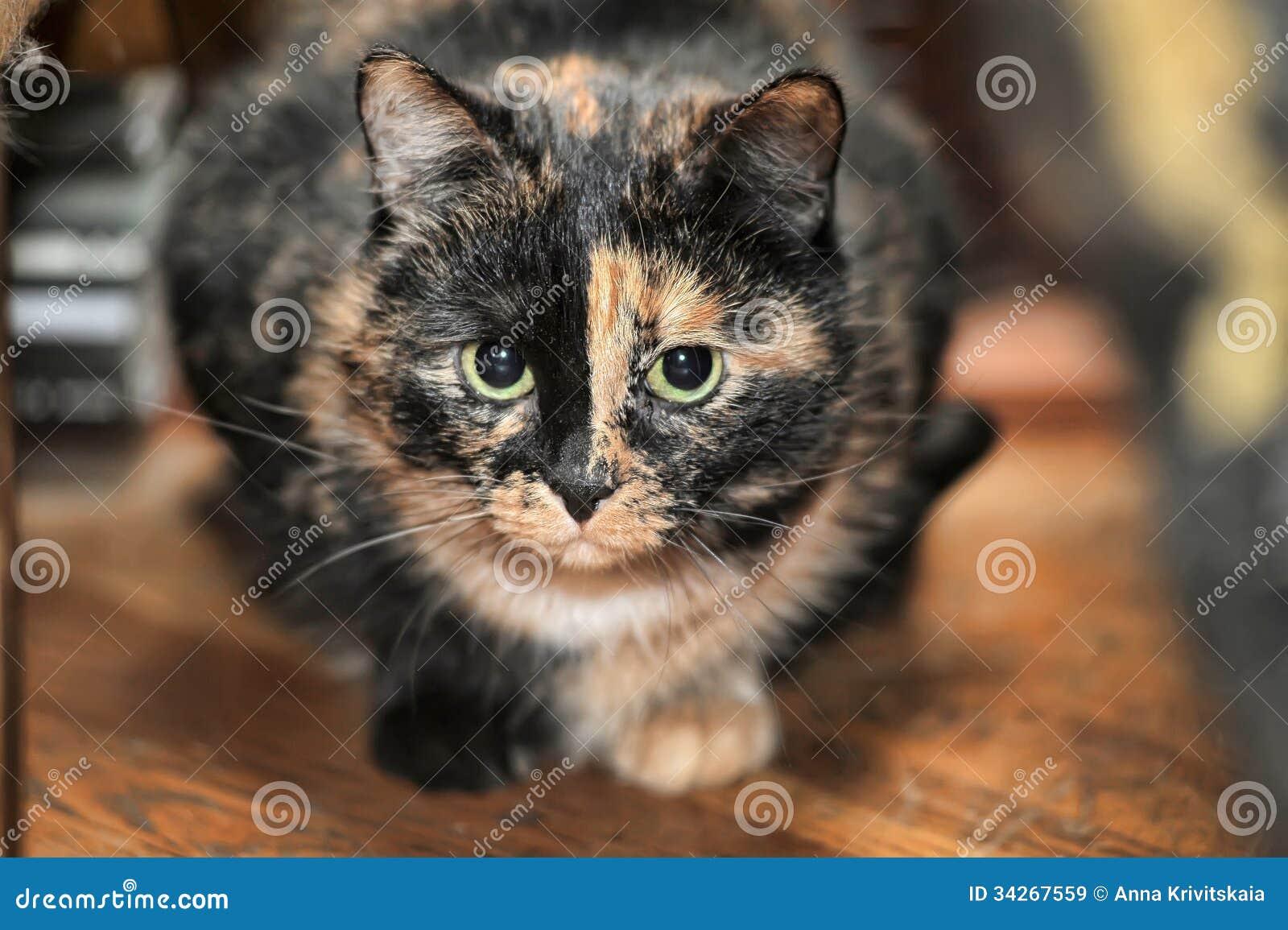 Tortoiseshell cat sits